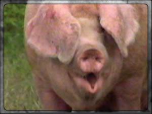 Error-Schwein