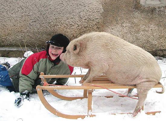 ber ideen zu minischweine auf pinterest minischwein schweine und ferkel. Black Bedroom Furniture Sets. Home Design Ideas