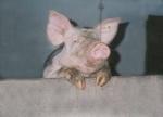 schwein01.jpg