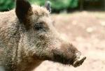 Wildschwein 013.jpg