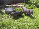 minischwein-nachwuchs2.jpg