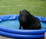 minischwein-pool.JPG