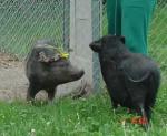 minischwein-rudolph.jpg