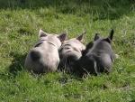 schlafende-schweine.jpg
