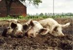 drei-schlafende-schweine.jpg