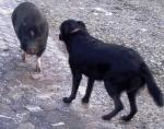 minischwein-und-hund.jpg