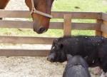 minischwein-und-pferd.jpg