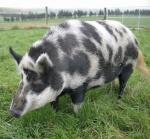 schwarz-weiss-schwein1.jpg