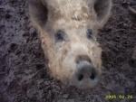 schweine 013.jpg