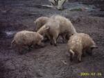 schweine 015.jpg