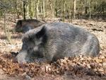 wildschwein-image001.jpg