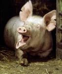 gaehnschwein.jpg
