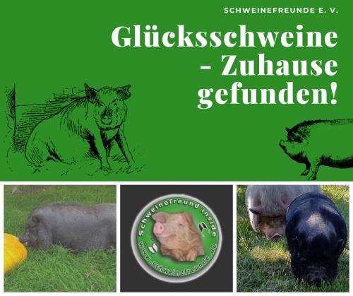 Glücksschweine - Zuhause gefunden