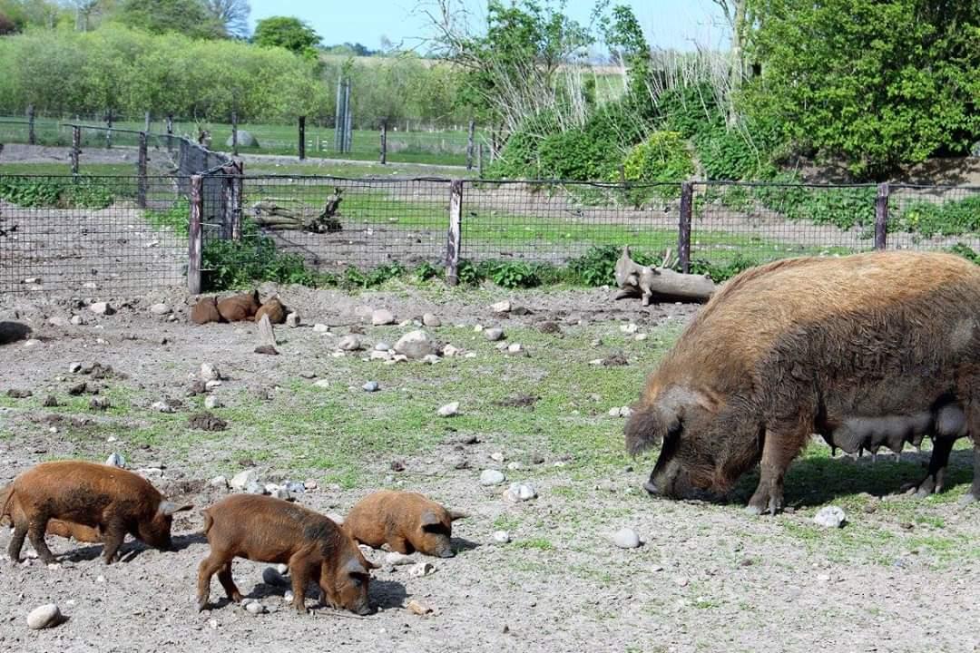 wollschwein-falimile.jpg