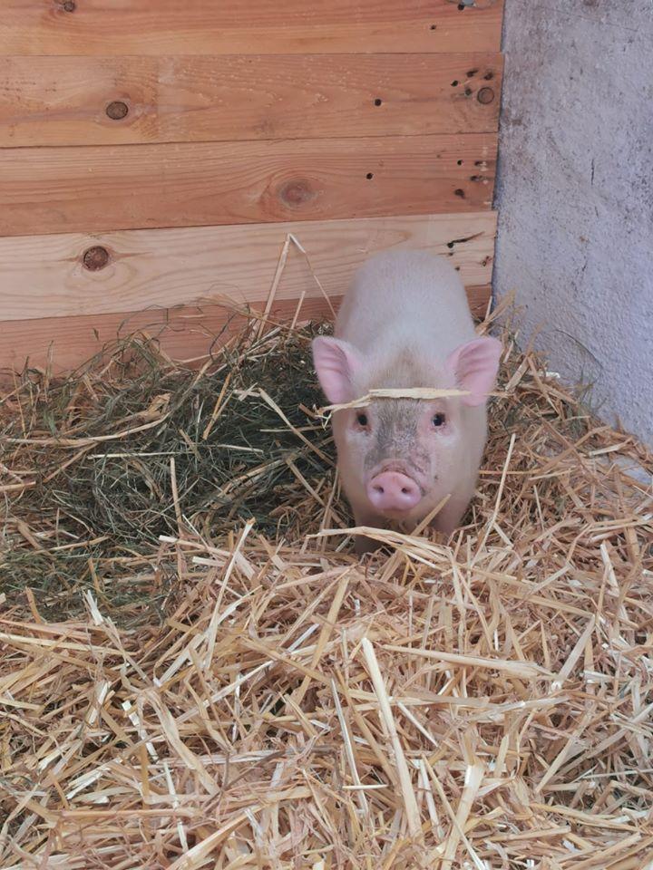 minischwein.jpg