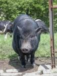 Minischwein mit Kühen