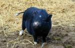 Minischwein in Freilandhaltung