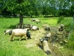 bayrschweine.jpg
