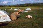 freilandschweine.jpg