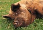 schwein201.jpg