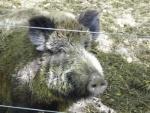 wildschwein2.jpg
