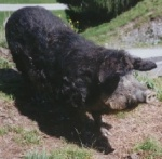 wollschwein1.jpg