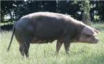 hausschwein.jpg