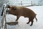 husumer-schwein1.jpg