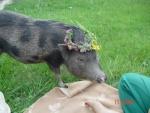 minischwein-mollie.jpg