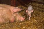 mutterschwein.jpg