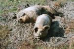 rotbunte-husumer-schweine.jpg