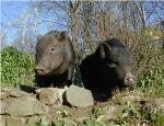 schweine192003.jpg