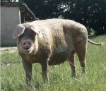 schweine-heinsberg-2003-057.jpg
