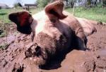 schwein-in-suhle.jpg