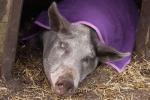 schwein-mit-kuscheldecke.jpg