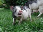 caspera-pigs3.jpg