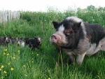 caspera-pigs9.jpg