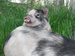 caspera-pigs10.jpg