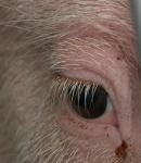 im-auge-der-schweine-2.jpg