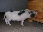 minischwein-james_01.jpg