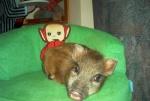 minischwein-matilda.jpg