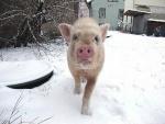 minischwein-pigeldie1.jpg