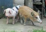 schweine-ausflug2.jpg
