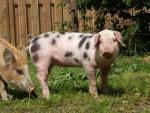 schweine-ausflug3.jpg