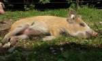 schweine-ausflug4.jpg