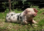 schweine-ausflug5.jpg