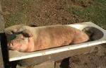 schweine-badewanne.jpg