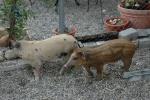 schweine-buben.jpg