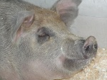 schweine-kopf.jpg