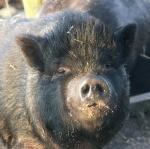 schwein-eversmeer.jpg
